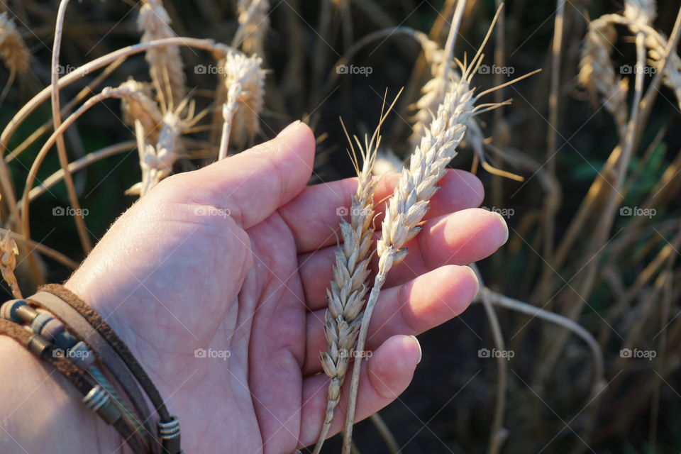 Close-up of hand holding wheat crop