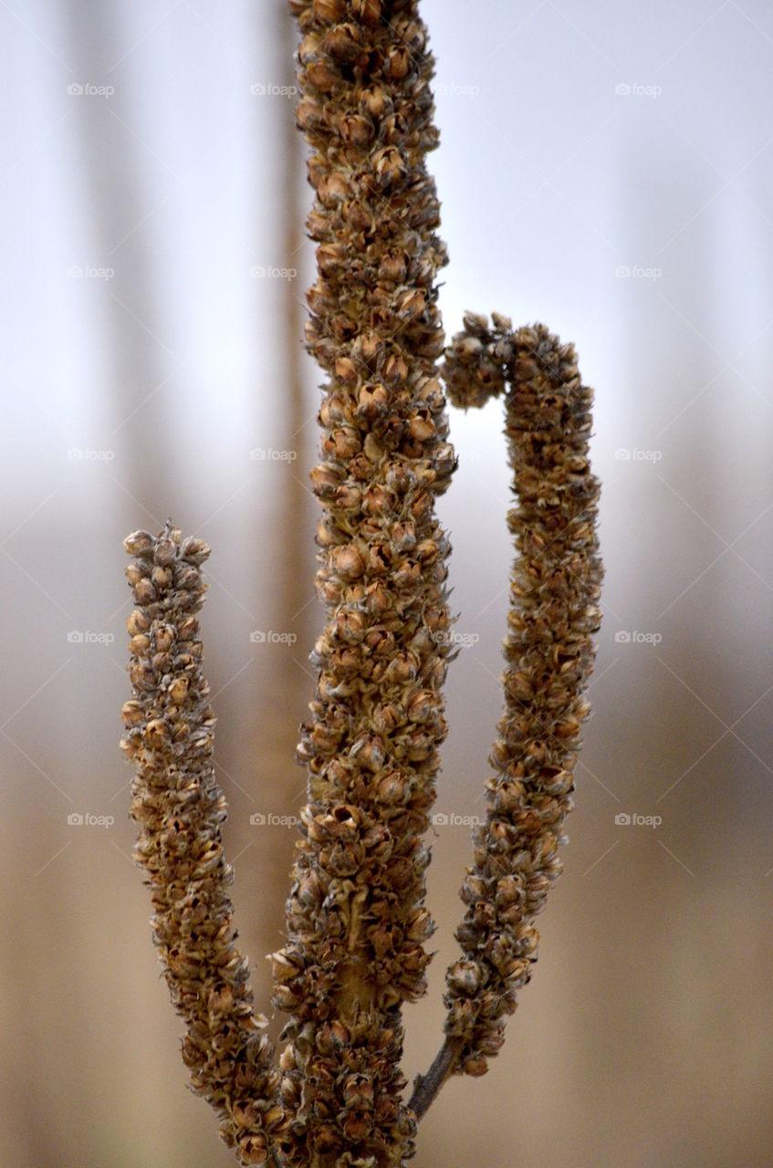 Mullein Seedheads