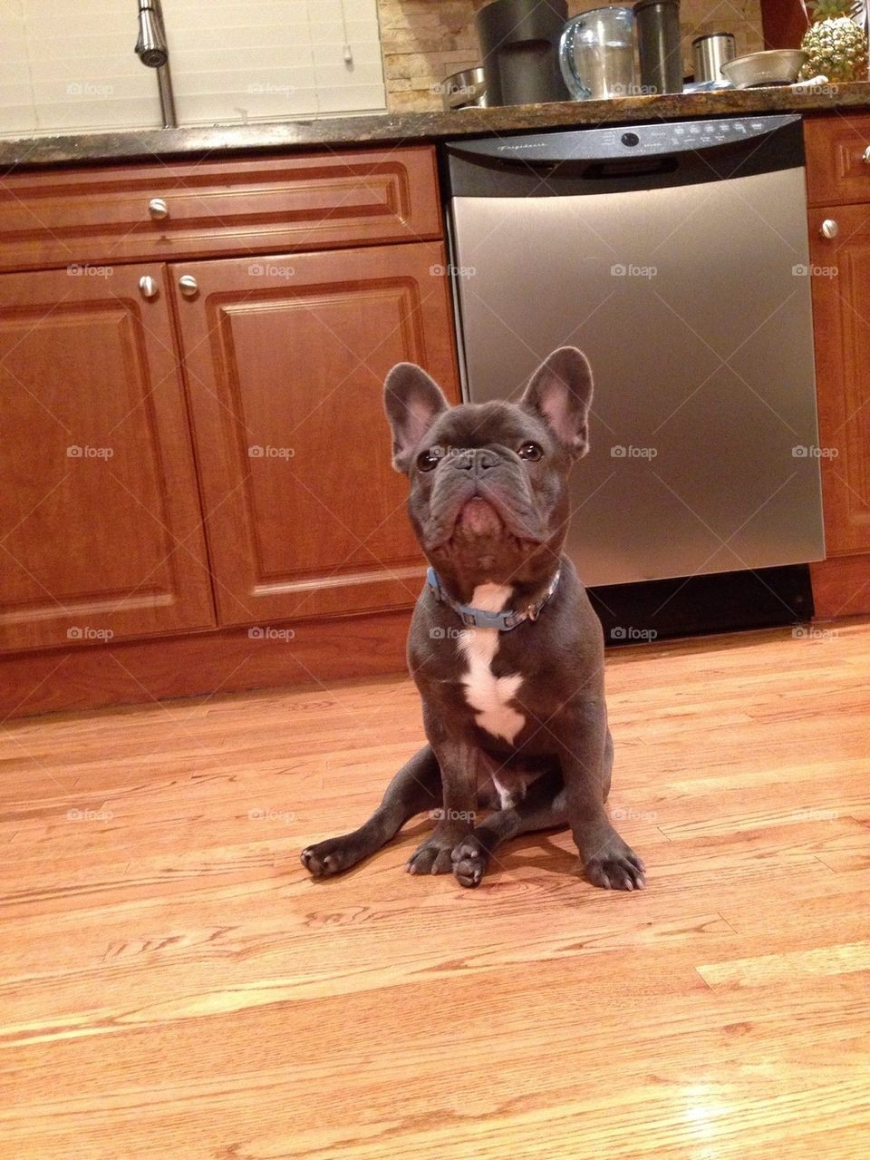 A hungry frenchie named Miles