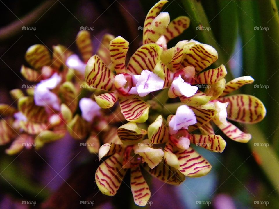 Orchid flowers from sri lanka