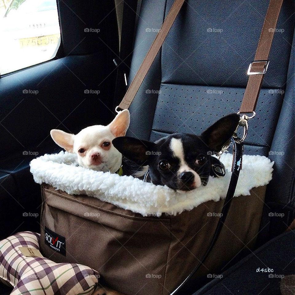 Chihuahua Dog Car Seat