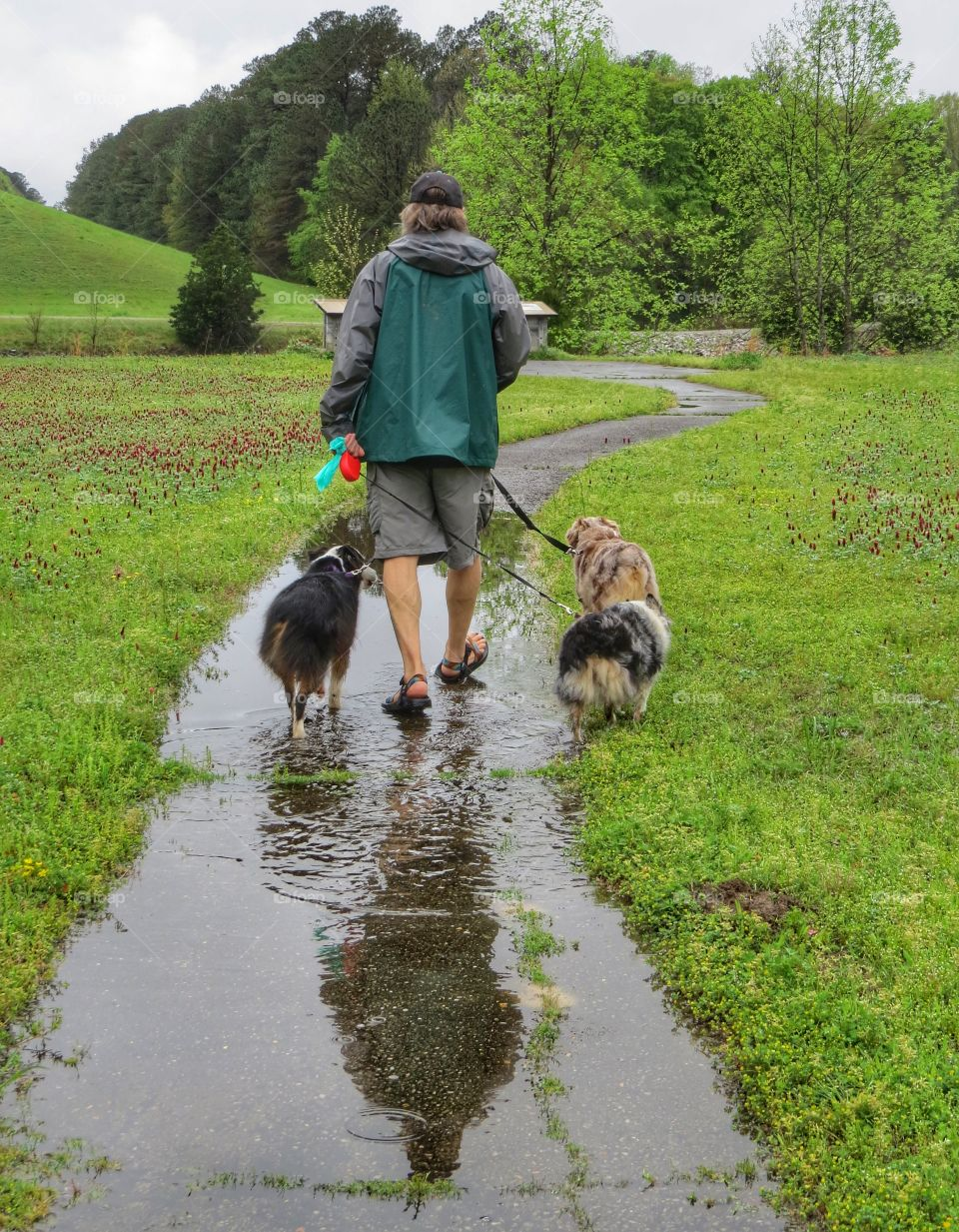 Man walking three dogs in the springtime rain.