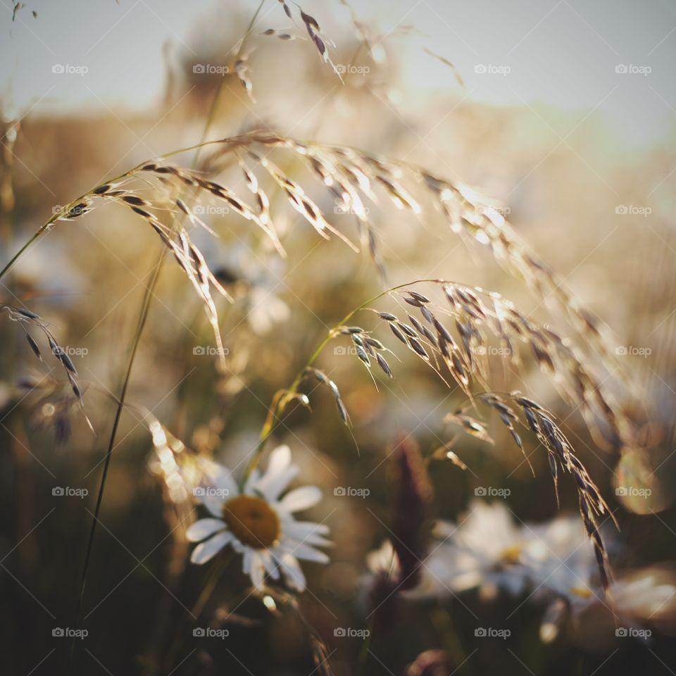 Field, Rural, Sun, Grass, Wheat