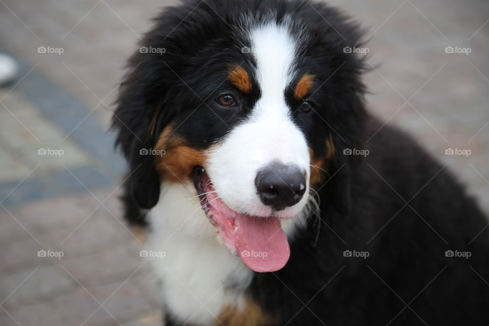 Portrait of dog with sticking out tongue