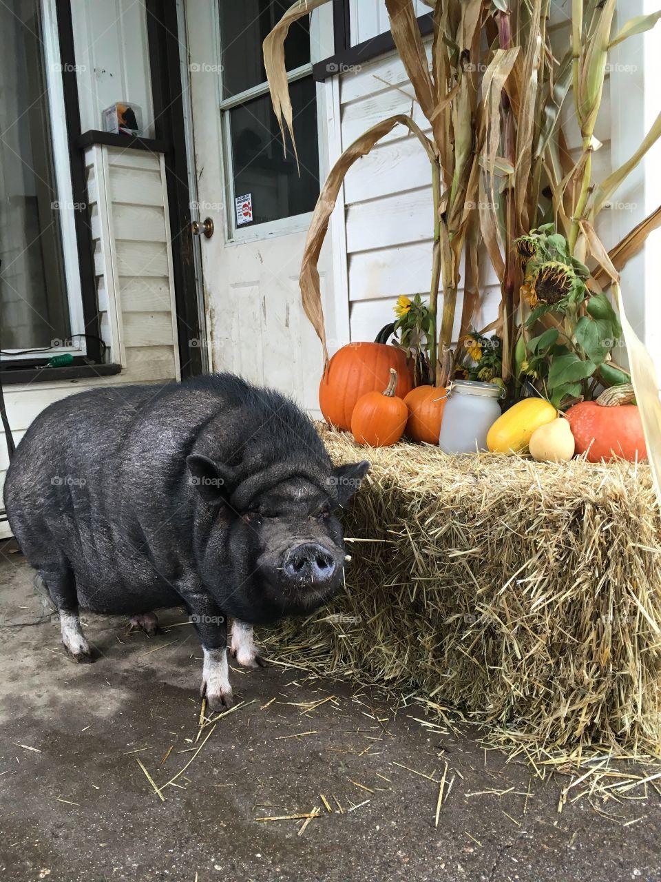 Thanksgiving pig that's not dinner!