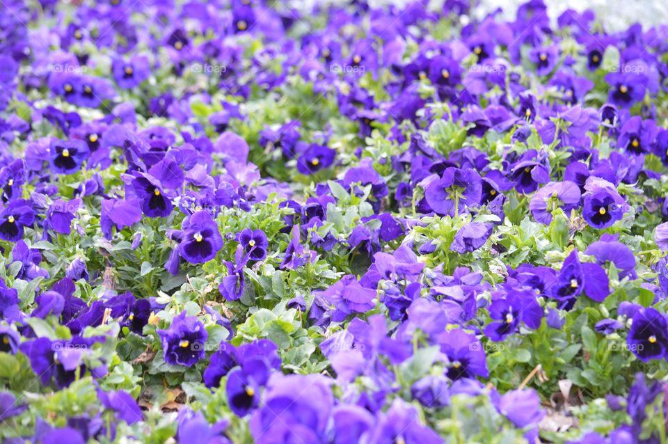 Sea of purple pansies.