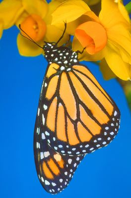 Close-up of monarch butterfly on yellow flower