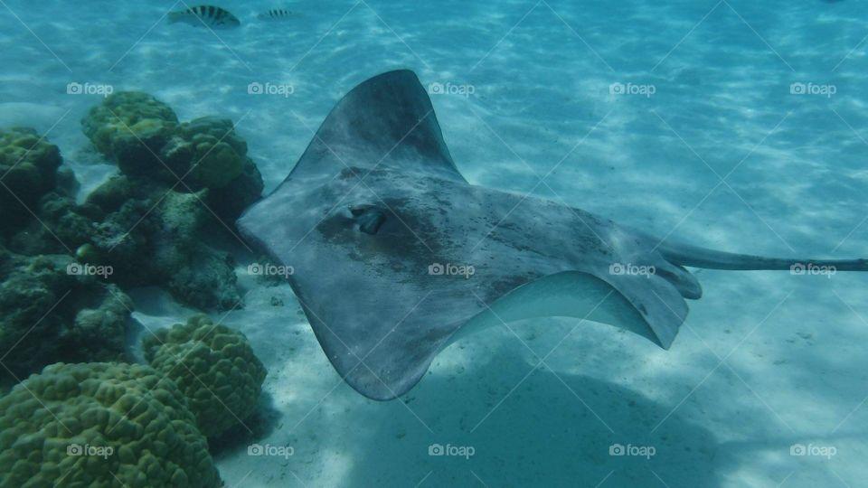Sting ray in lagoon - Moorea