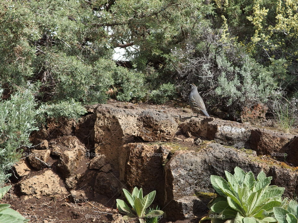 A California Quail walks along porous rocks surrounded by juniper trees in Central Oregon landscaping on a sunny day.