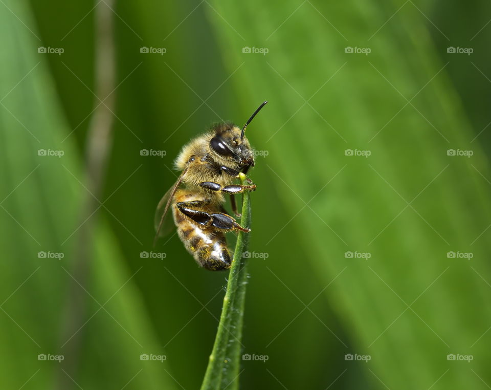 Bee on a blade of grass