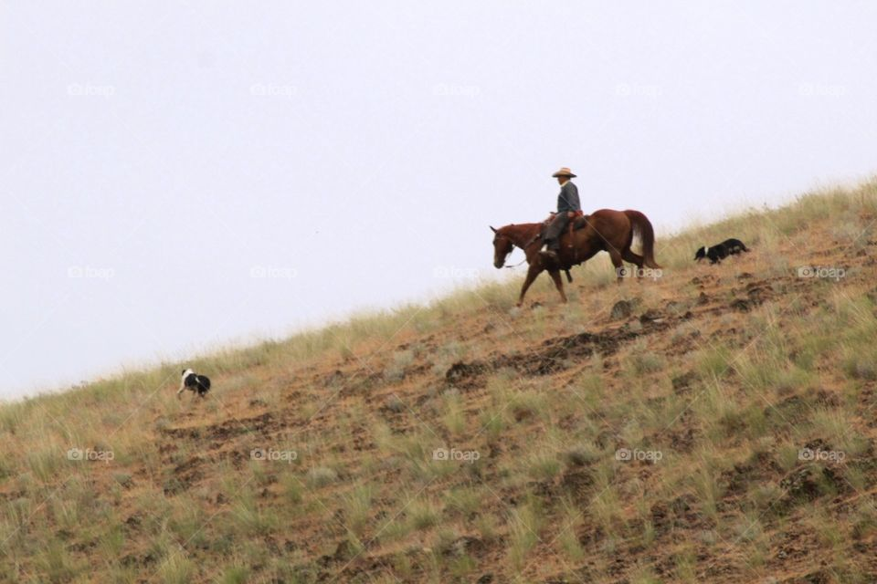 Cowboy on his horse with his working dogs.