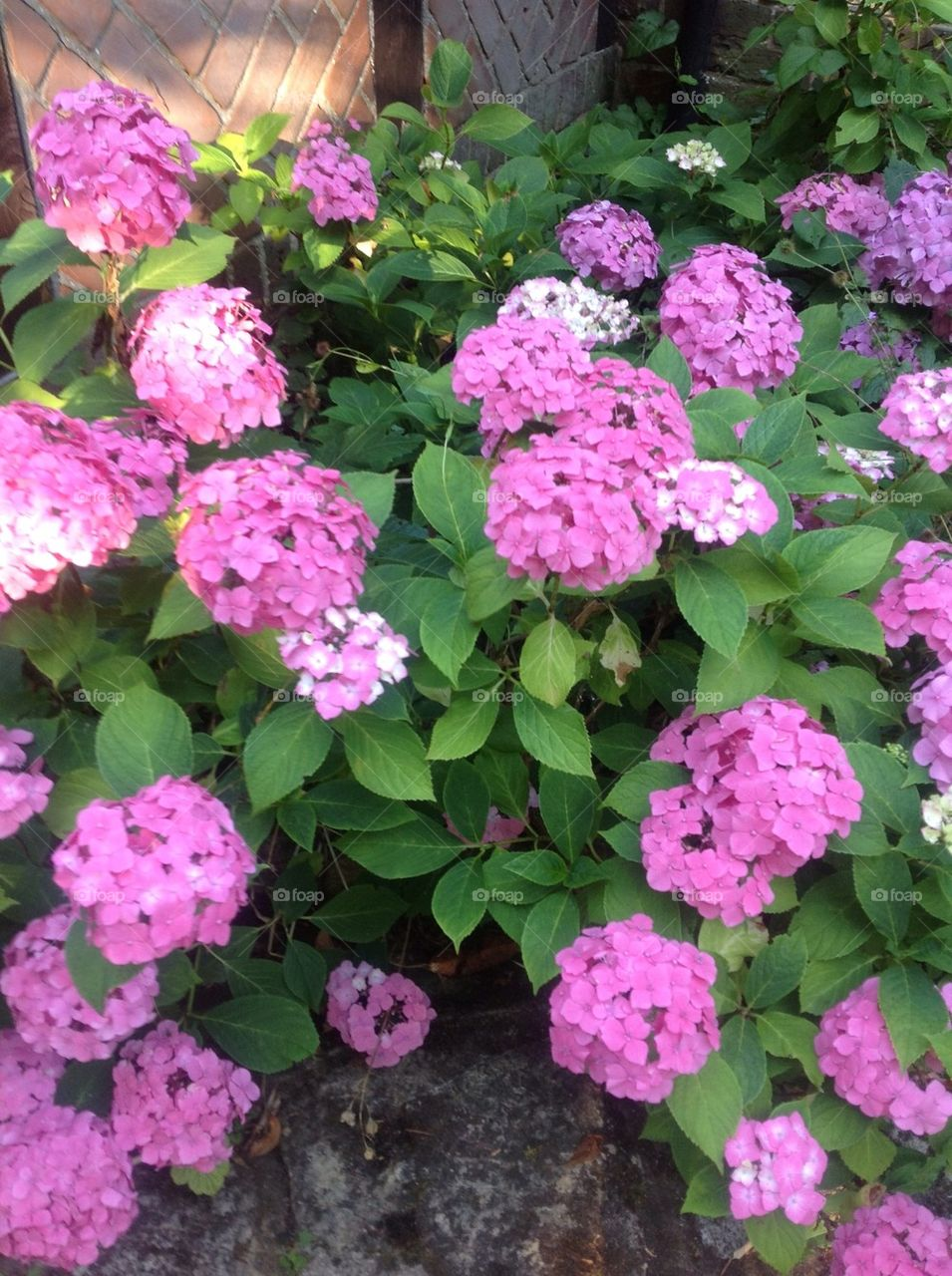 Pink Hydrangeas in summer
