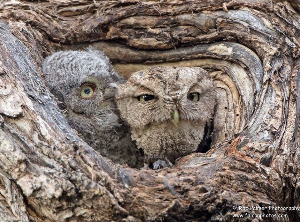 Screech Owls Mom and Son