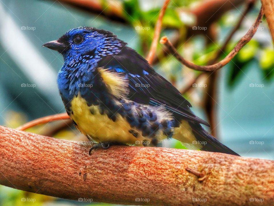 Colorful Tropical Tanager Bird. Colorful Tropical Bird