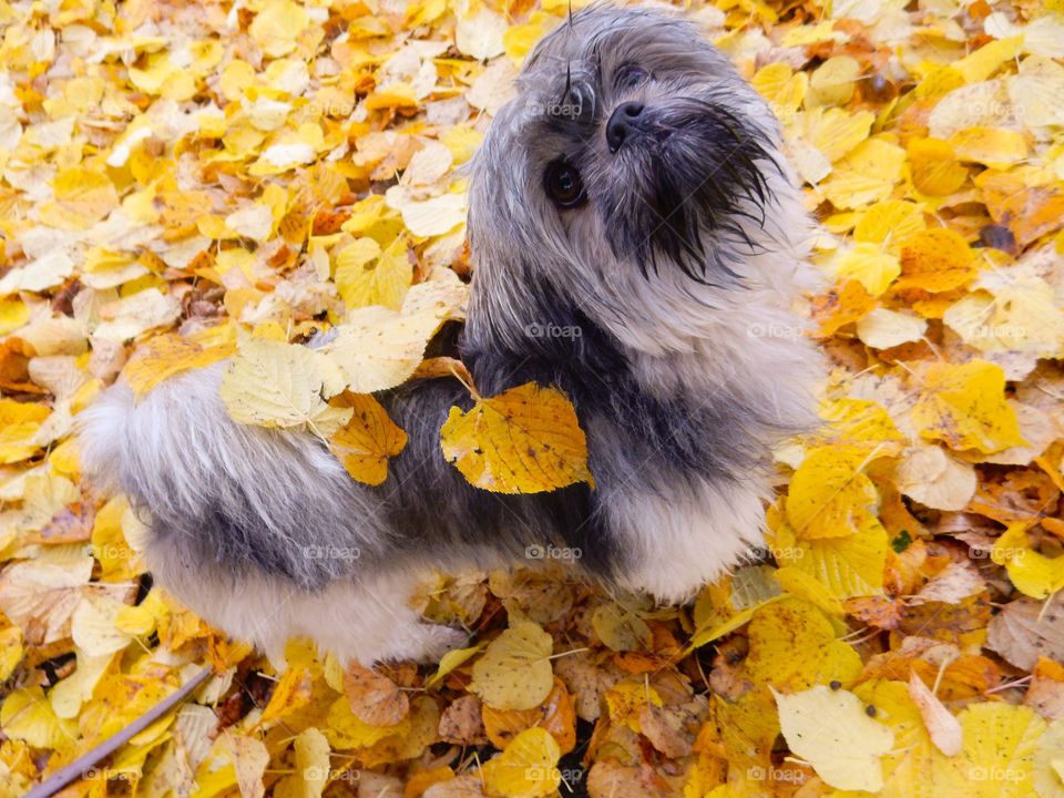 little dog covered in leafs. dog covered in autumn leaf