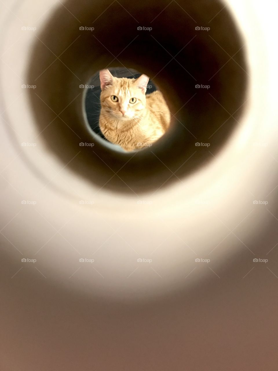 Darling orange tabby kitty cat looking straight through tube right at the camera.