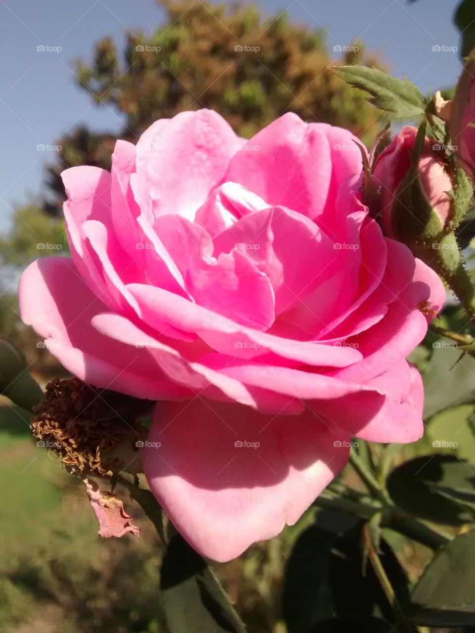 pinck flower
