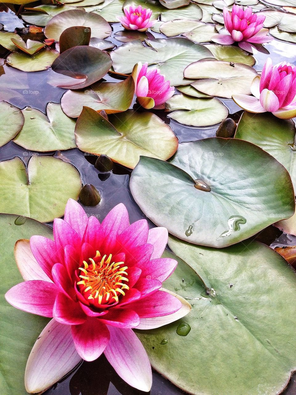 High angle view of water lily on pond