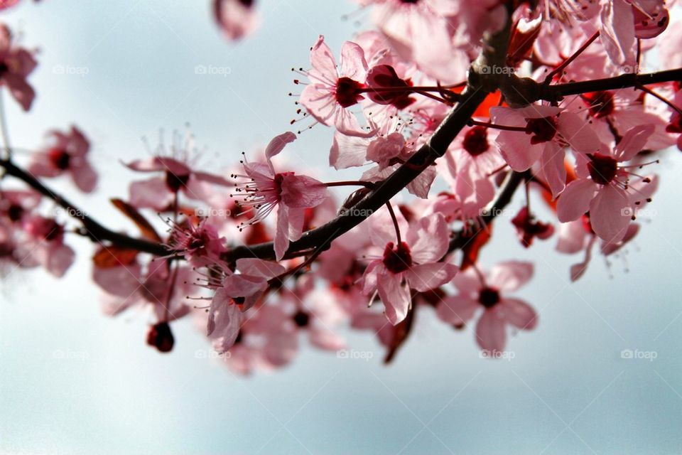 Cherrytree . Tree is Seattle that I took a photo of in the morning light.