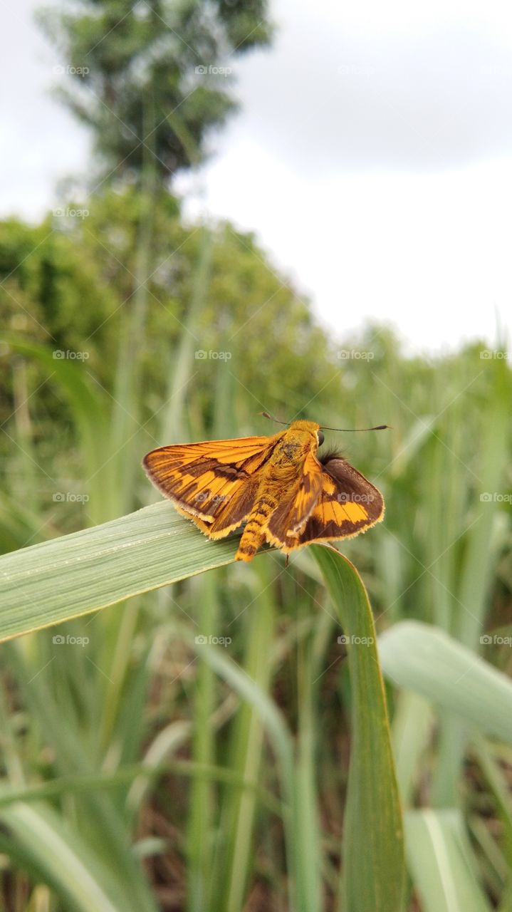 colourful Insect ,insects, butterfly moth - mounted on sugarcane leaf .It's feeling safe in mother nature.