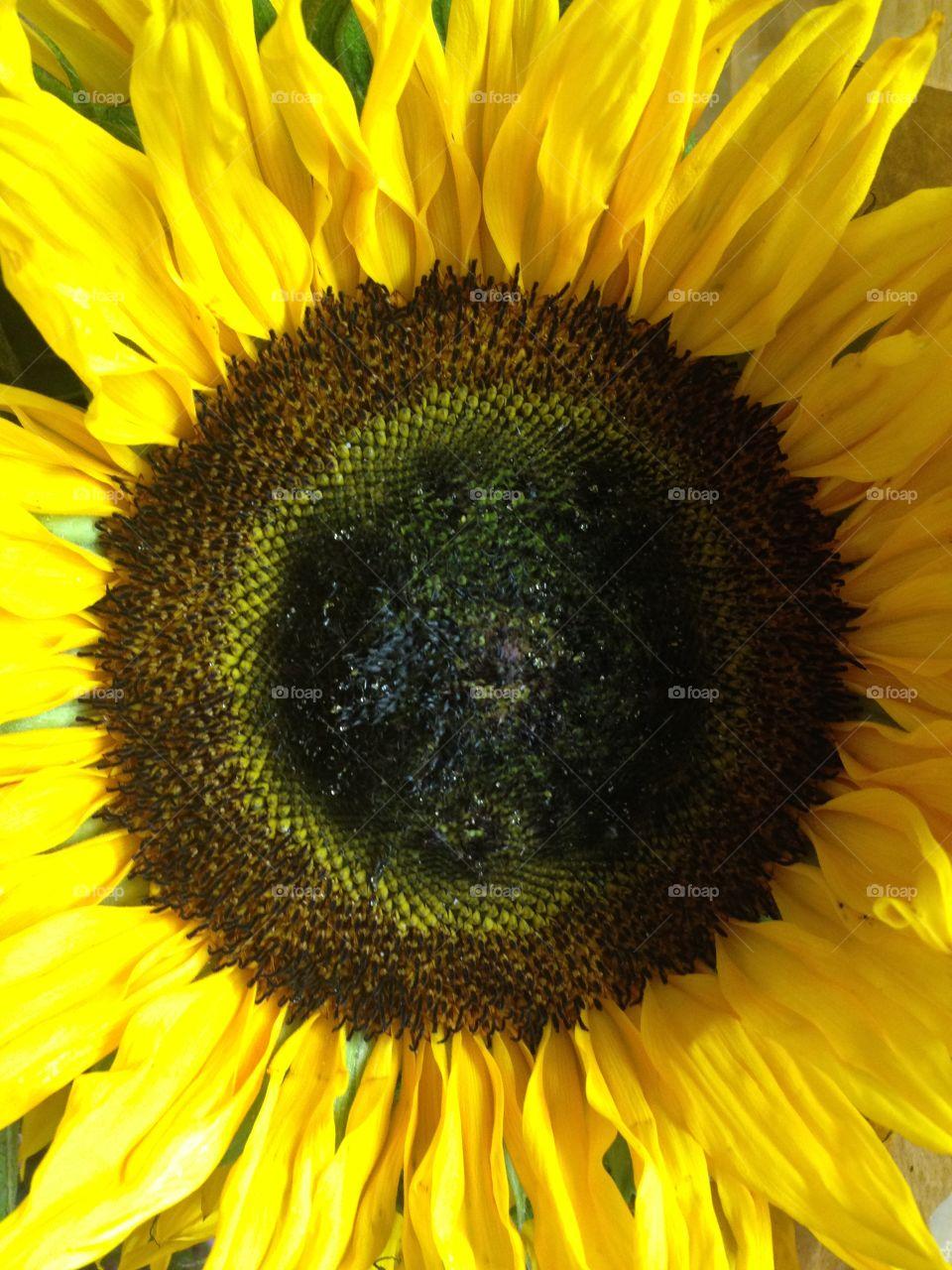 Close-up sunflower flower