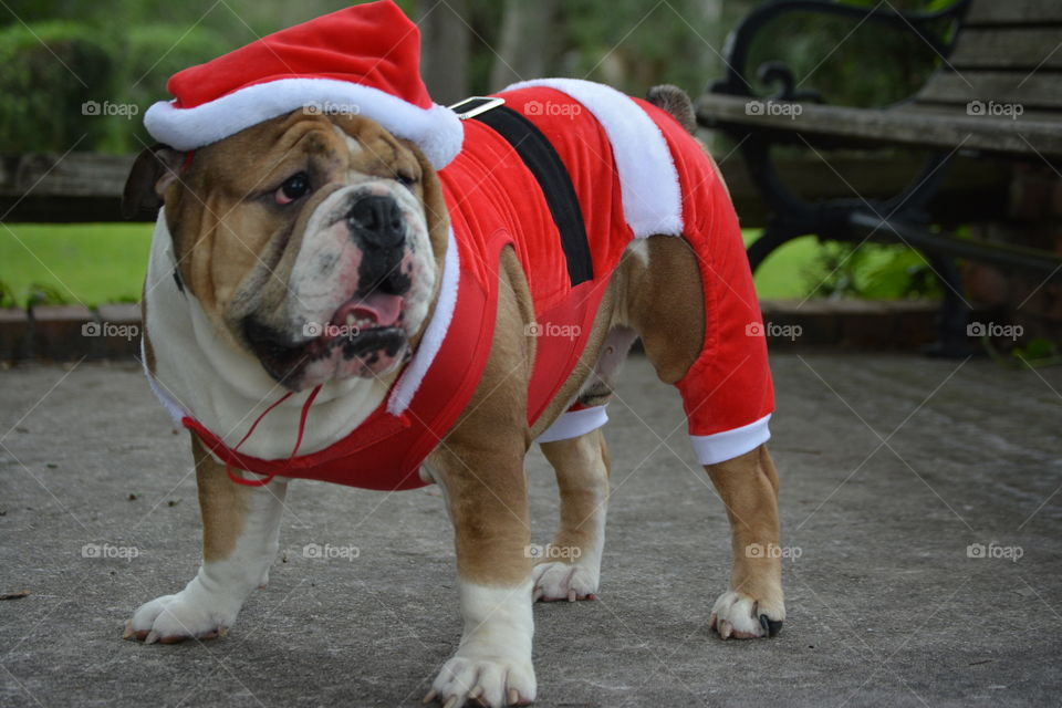 Bull dog dressed as Santa
