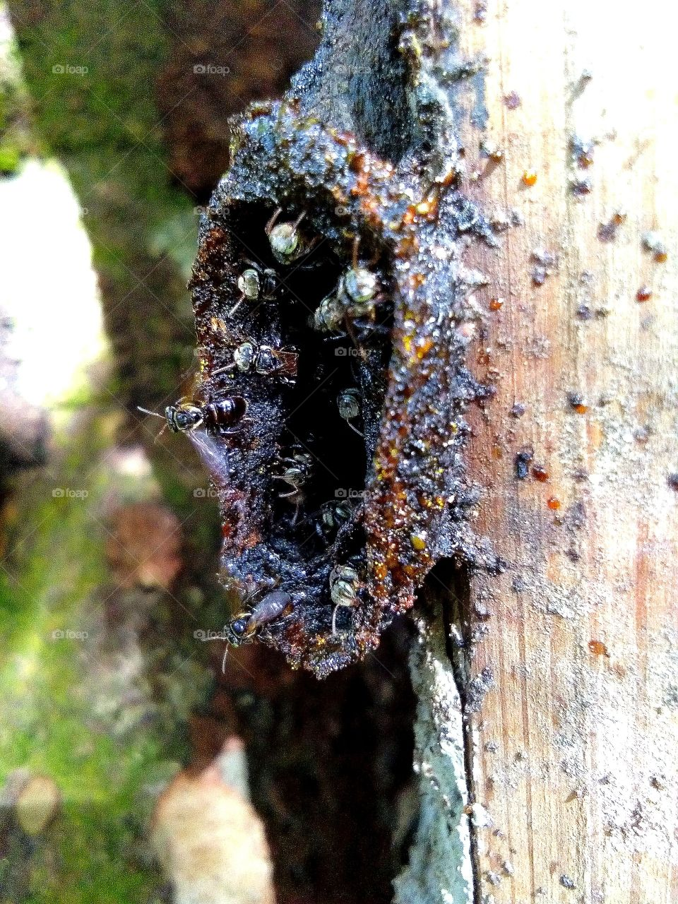 Stingless bees, sometimes called stingless honey bees or simply meliponines, are a large group of bees, comprising the tribe Meliponini.Stingless bees have been shown to be valuable pollinators of crops such as macadamias and mangos