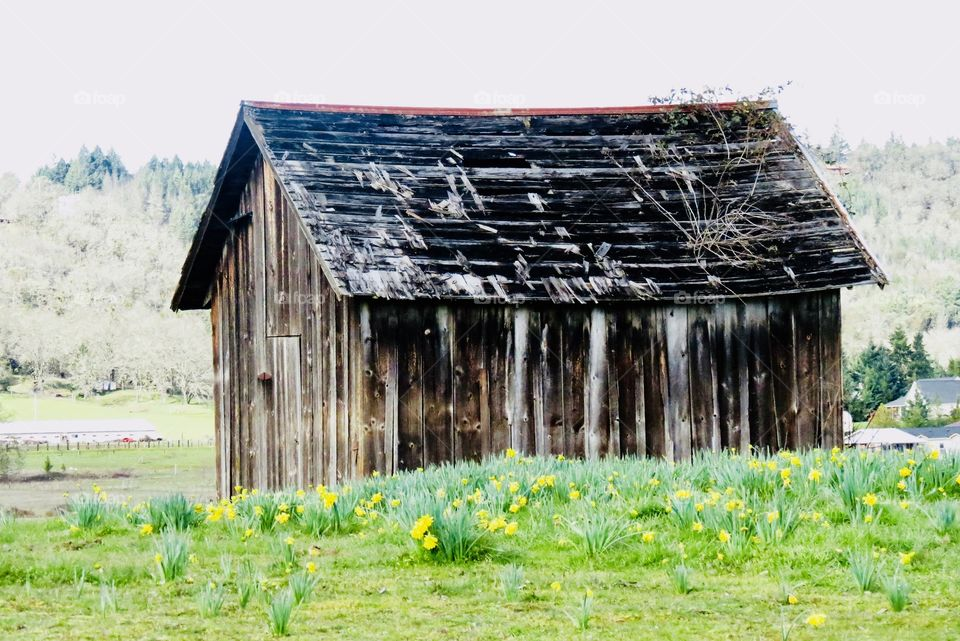 Old Weathered Shack In A Field With Early Spring Daffodils.