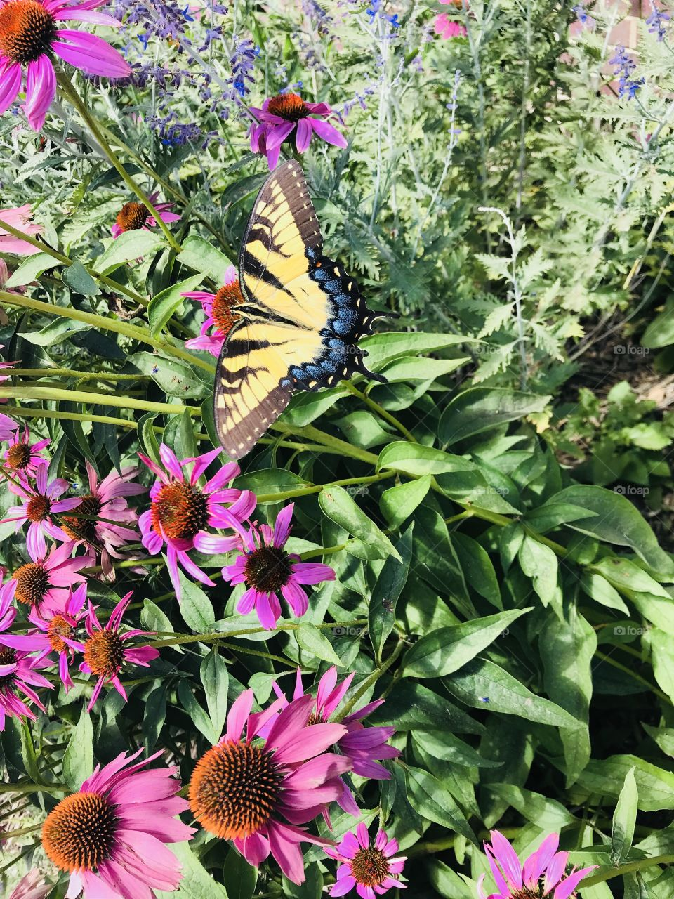 Gorgeous butterfly perched in a plant enjoying some nectar. Gorgeous yellow and blue markings really make this butterfly stand out!