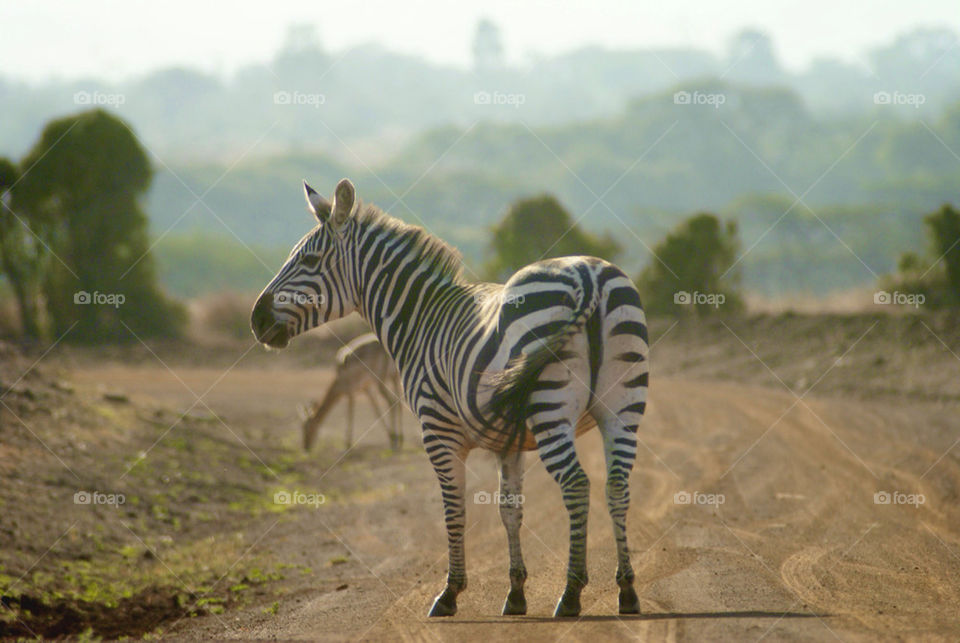 park jungle animal zebracrossing by manishkanojia