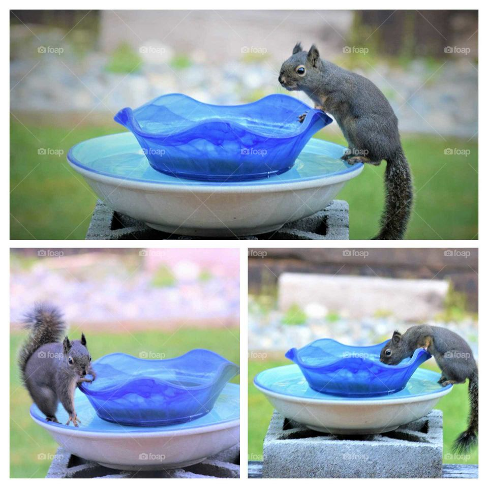 the squirrel  found my water fountain 4 17 18