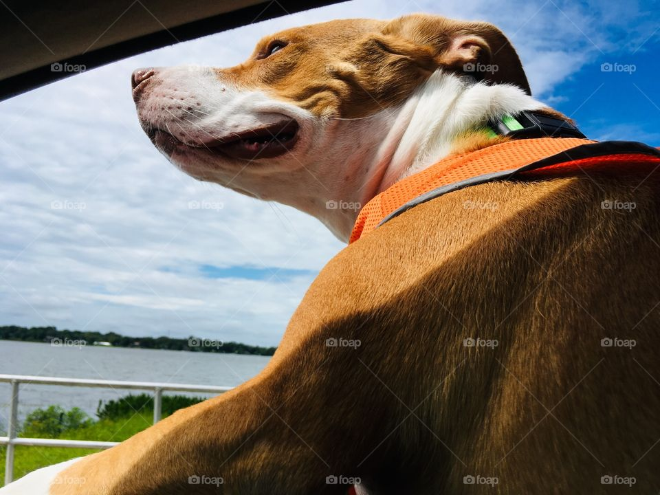 Rescue pitbull dog enjoying a car ride
