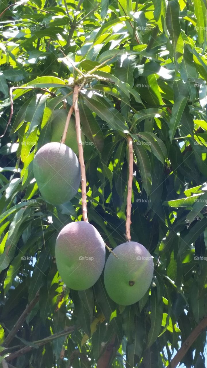 Mangoes hanging from tree