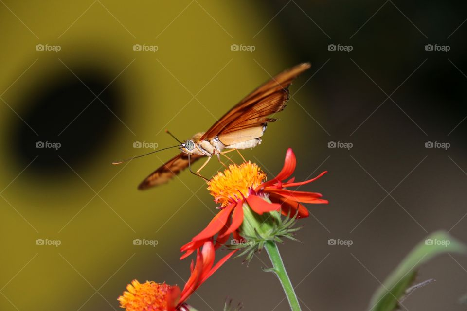 An orange butterfly on the yellow stamen of an orange flower blurred background closeup detail macro