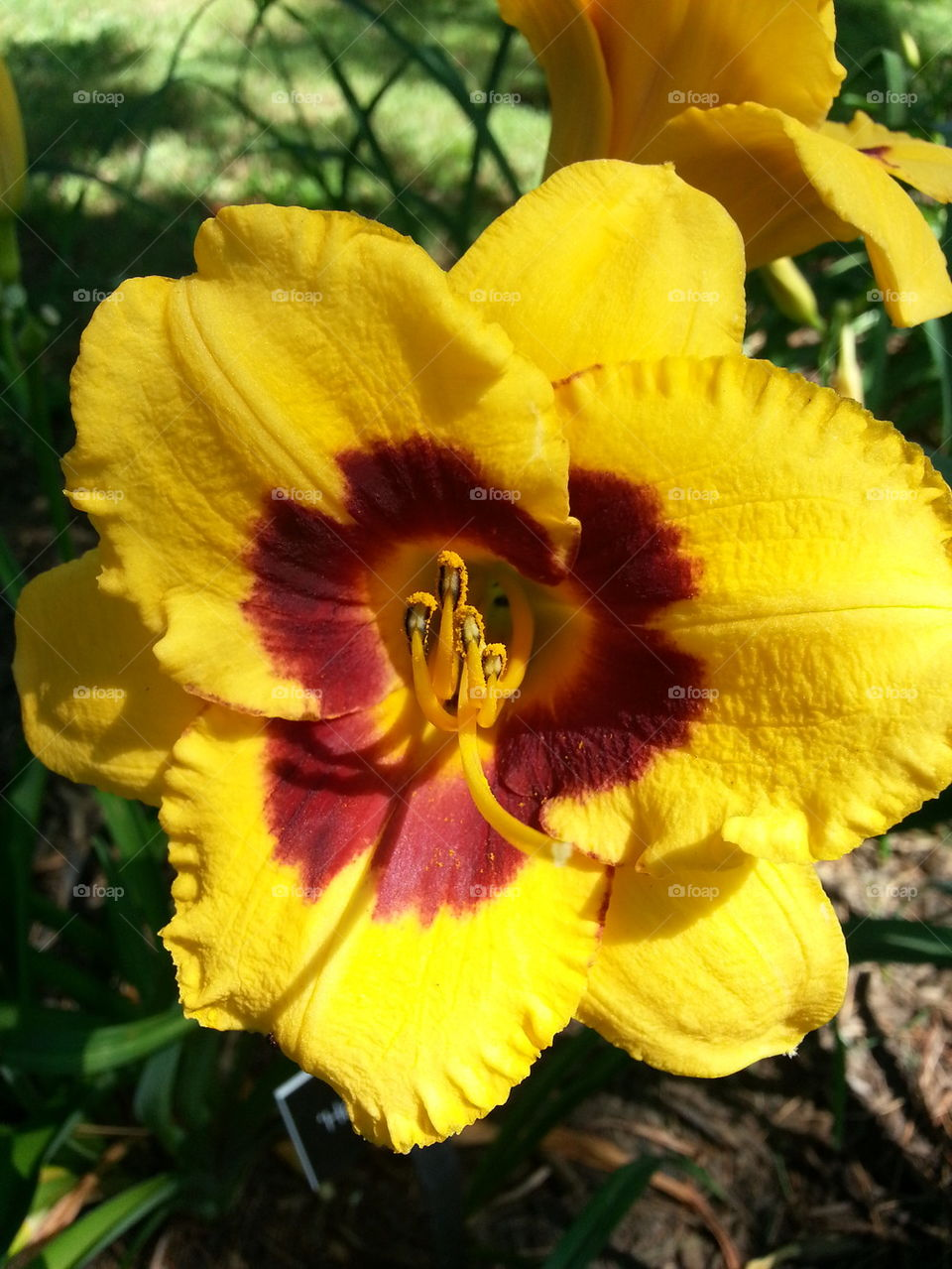 Foap Yellow Day Lily With Red Center Stock Photo By Fishyinsects