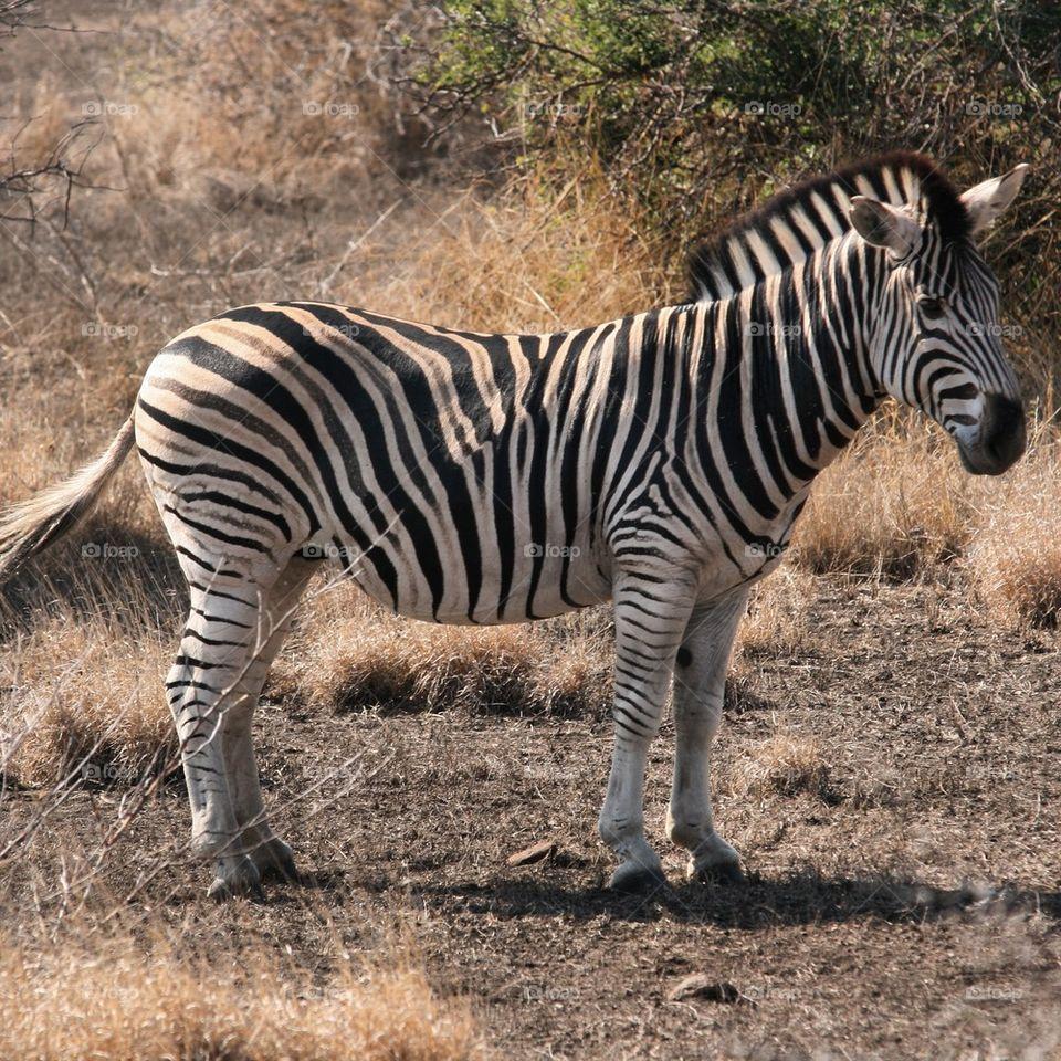 Side view of a zebra