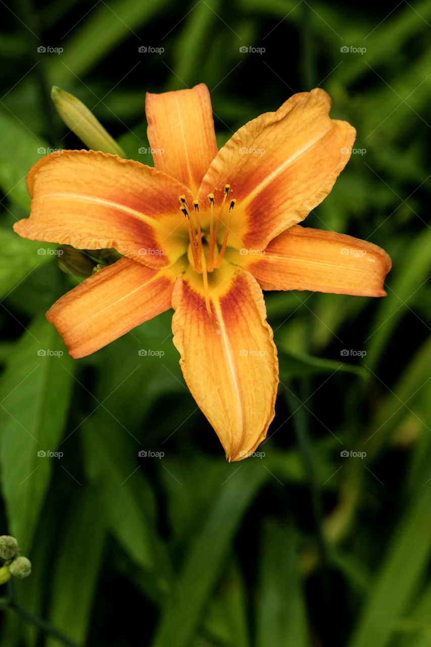 Bright Orange Lily Flower In The Garden, Summertime Flowers, Beautiful Colorful Flowers