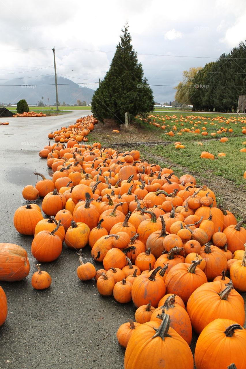 The pumpkin farm.