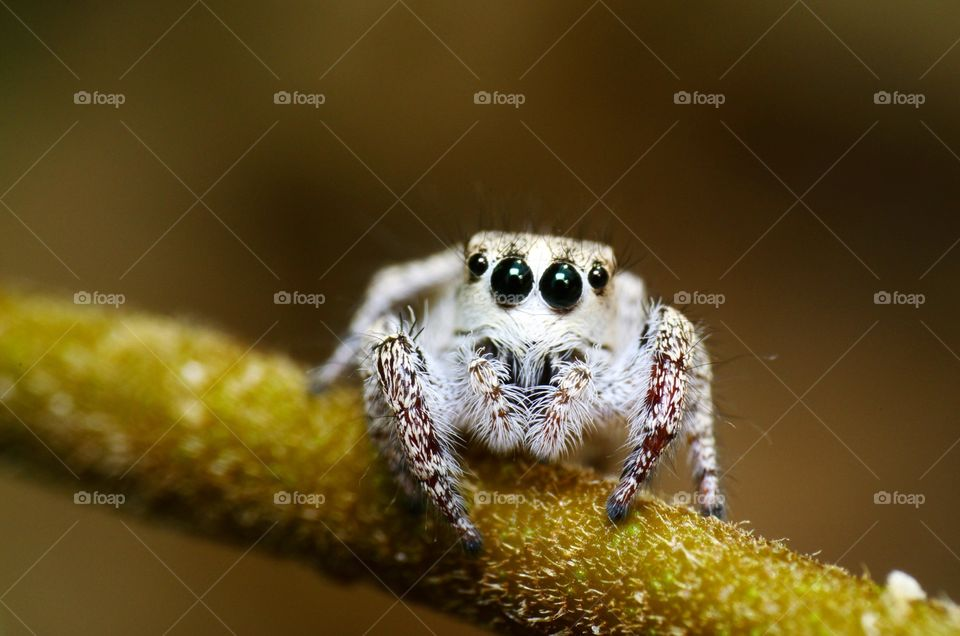 Macro shot of a jumping spider.