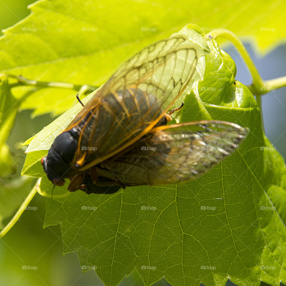 Two adult cicadas preparing to mate