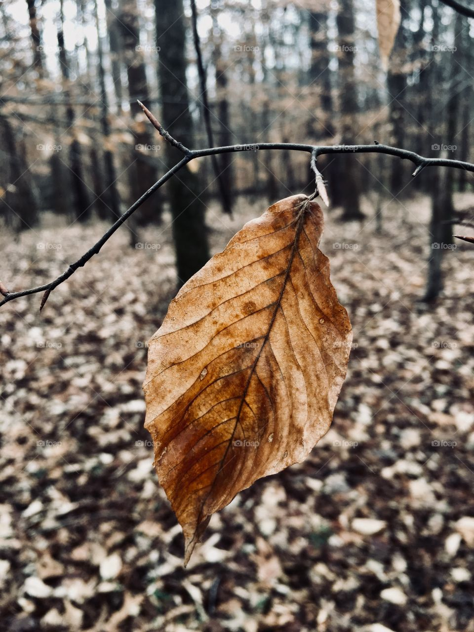 A single beech tree leaf not wanting to accept the season