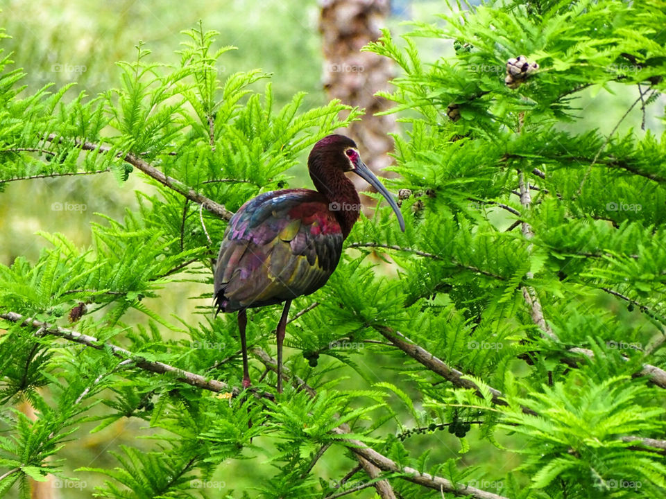 White Faced Ibis in breeding plumage