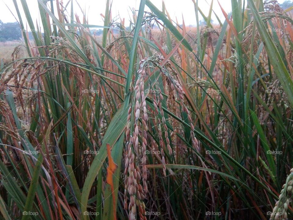 nature 2018-01-19 035  #আমার_চোখে #আমার_গ্রাম #nature  #eukaryota #plantae #angiosperms #eudicots