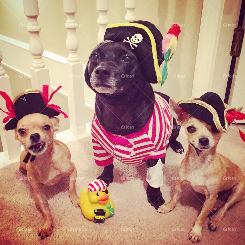 Dogs dressed in pirate clothing
