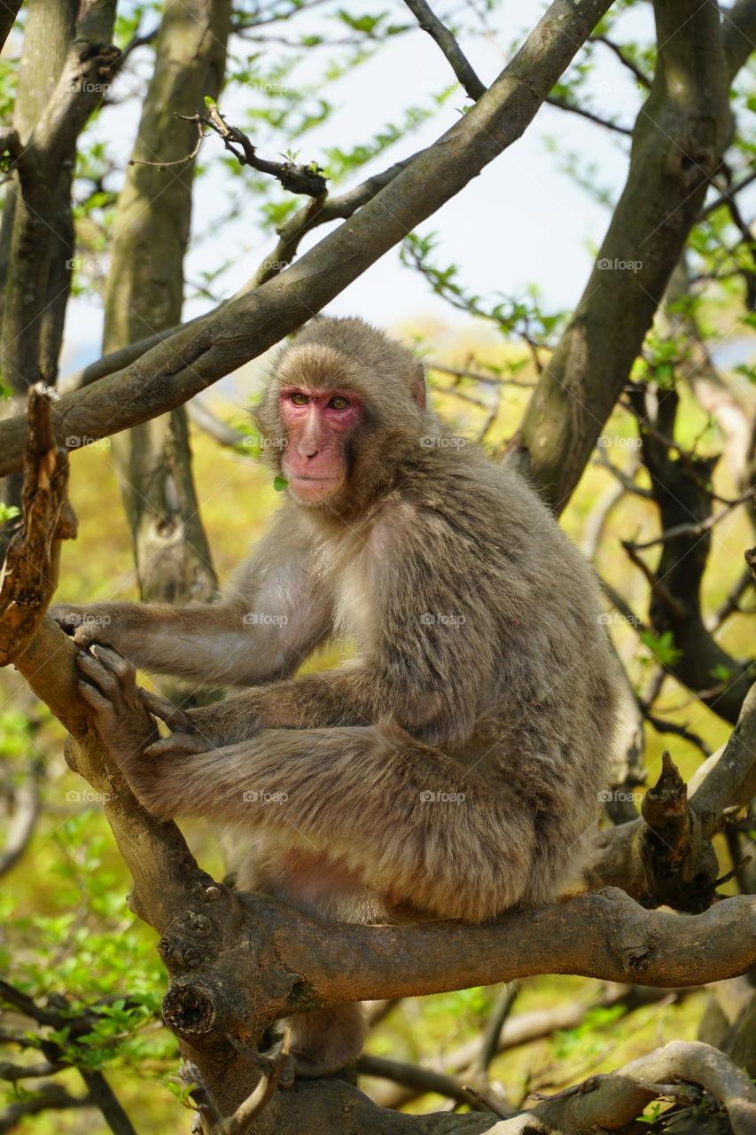 Macaque at iwatayama monkey park