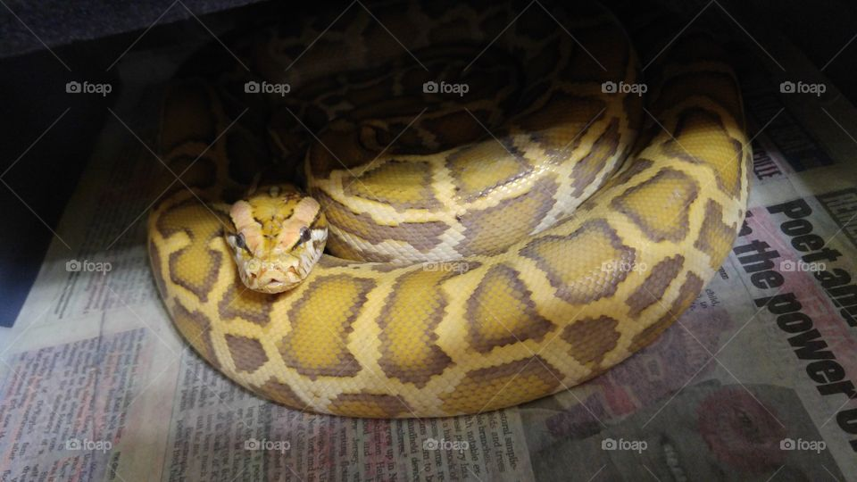Took a snap of my male Caramel Burmese Python