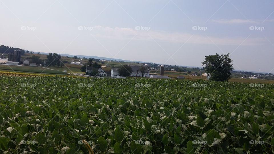 Farm. Corn and tabacco