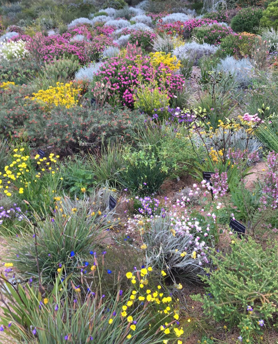 Colourful wildflowers in Kings Park, Western Australia.