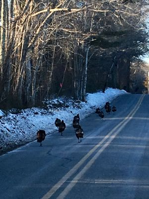 Wild Turkeys On New England Road, Sunset  Taking a ride nearing late afternoon in Winter, a rafter of wild turkeys ran across the road in front of us. Having my phone handy, I took this photo!🦃🦃🦃🦃🦃