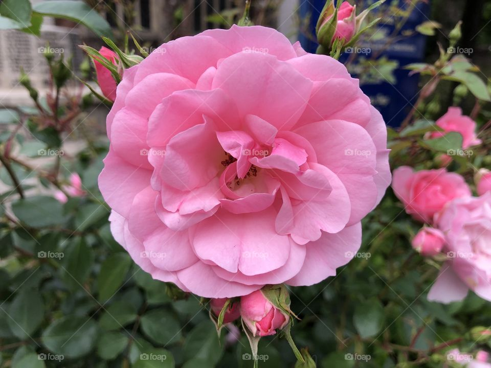 A pretty fine pink rose l think, with lots more arriving soon